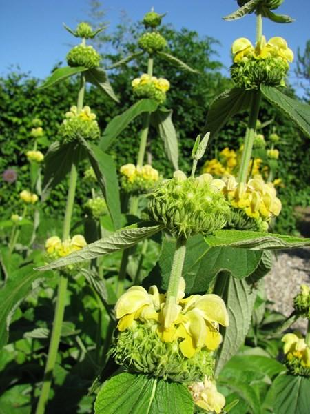 Brandkraut - Phlomis russeliana